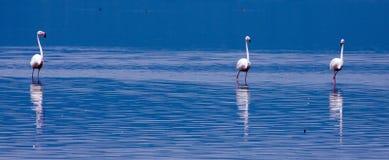 趟过通过湖的三群更加伟大的火鸟 免版税库存照片
