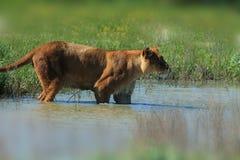 趟过通过水,关闭的雌狮  库存图片