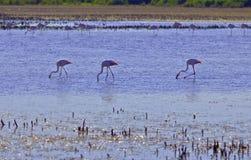 趟过通过Camargue盐水湖的桃红色火鸟 库存照片