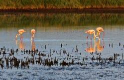 趟过通过Camargue盐水湖的桃红色火鸟 库存图片