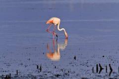 趟过通过Camargue水池的桃红色火鸟 库存照片