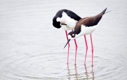趟过黑色飞过的高跷的两只鸟 JPG 免版税库存图片