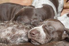 满足的睡眠,德国短毛指针小狗 免版税库存图片
