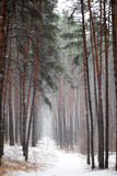 足迹在具球果森林里在冬天 免版税库存照片