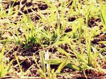 足迹在春天年轻麦子的领域 干燥破裂的黏土 库存照片