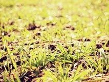 足迹在春天年轻麦子的领域 干燥破裂的黏土 免版税库存照片