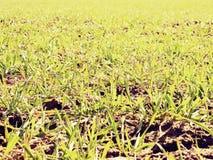 足迹在春天年轻麦子的领域 干燥破裂的黏土 免版税图库摄影