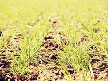 足迹在春天年轻麦子的领域 干燥破裂的黏土 免版税库存图片
