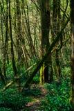足迹在赤柏松黄杨木潜叶虫树丛里 免版税库存图片