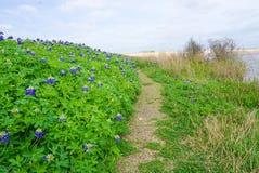 足迹标示用沿刷子Creek湖的矢车菊在得克萨斯 图库摄影