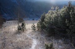 足迹通过结霜的草的领域反对杉树背景的在早晨光和由后面照的条件,阿尔泰m的 免版税库存照片