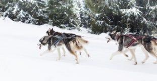 足迹雪撬爱斯基摩种族 图库摄影