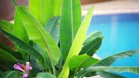 跌倒在与热带树的游泳池的热带夏天雨在海岛酸值苏梅岛,泰国 1920x1080, hd 股票录像