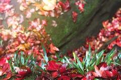 跌倒在地面的槭树叶子 库存照片