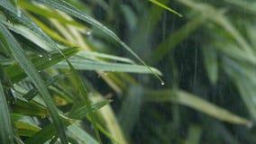 跌倒在绿色叶子的雨珠接近的细节在重的夏天季风降雨量期间 水投下洗涤的树 影视素材