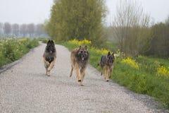 跑三条比利时牧羊人特尔菲伦的狗外面 免版税库存照片