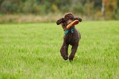 跑与在草的一个玩具的布朗长卷毛狗在夏天 免版税库存照片