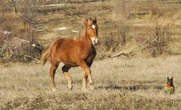 跑与小棕色狗的红色马 图库摄影