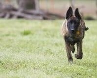 跑与拷贝空间的幼小狗 库存图片