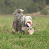 跑与玩具的有胡子的大牧羊犬 免版税图库摄影