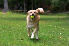 跑与球的爱犬 库存照片