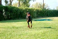 跑与球的Dobermann 库存照片
