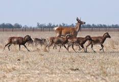 跑与绵羊牧群的鹿  免版税图库摄影