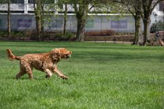 跑与网球的愉快的狗 免版税库存照片
