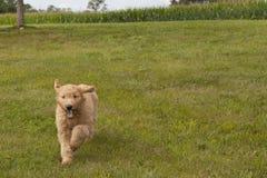 跑与耳朵和舌头飞行的Goldendoodle小狗 图库摄影