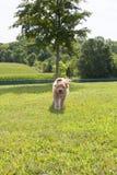 跑与耳朵飞行的Goldendoodle小狗 库存图片