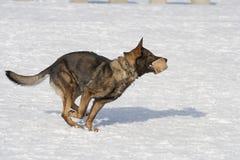 跑与aport的德国护羊狗 库存照片