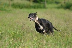 跑为乐趣的Sighthound 库存图片
