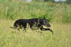 跑为乐趣的Sighthound 免版税库存照片