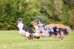 跑为玩具的两只澳大利亚牧羊犬 免版税库存照片