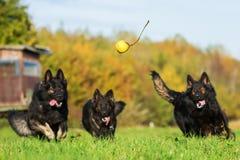 跑为球的三条狗 库存图片