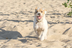 跑到在沙滩的照相机的滑稽的狗 免版税图库摄影