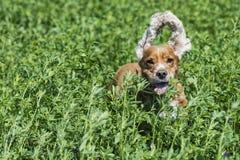 跑到您的愉快的小狗 图库摄影