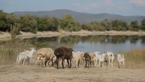 跑到池塘的山羊和绵羊牧群  股票视频