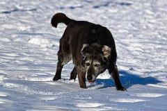 跑和享用雪的一条derpy资深狗 免版税库存照片