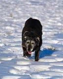 跑和享用雪的一条derpy资深狗 免版税库存图片