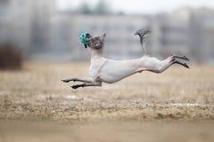 跑和使用在公园的狗 Xoloitzcuintle -无毛的m 免版税库存照片