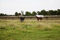 跑和使用在领域的良种马 免版税库存图片