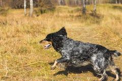 跑和使用在黄色秋天gra的被察觉的俄国西班牙猎狗 免版税图库摄影