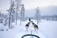 跑和拉扯一个雪撬的拉雪橇狗在一个白色冬日 库存照片