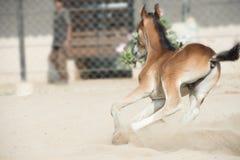 跑和演奏Marwari栗子马驹在小牧场 印度 免版税库存图片