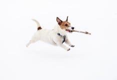 跑和跳跃在雪运载的木棍子的白色狗 库存照片