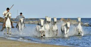 跑和飞溅通过水的白马牧群  免版税库存照片
