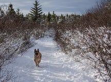 跑在一条积雪的道路下的德国牧羊犬狗 免版税库存图片