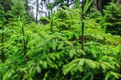 跑在一棵绿色杉树下的雨珠在森林里 库存图片