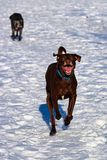 跑在与后边一条资深狗的雪的一条derpy狗 库存图片